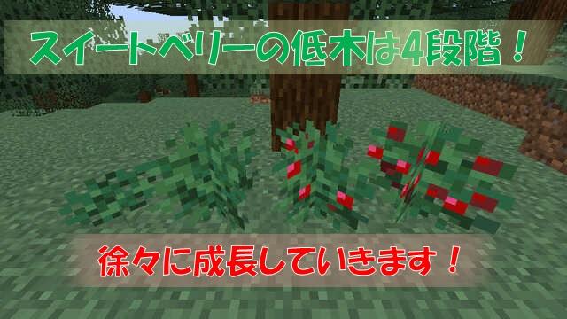 スイートベリーの低木の成長